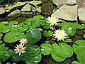Five Lilies today - panoramio.jpg