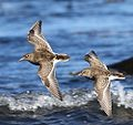 Fjæreplytt - Purple Sandpiper (Calidris maritima) from Lista, Norway (cropped).JPG