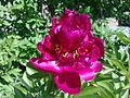 Fleur de pivoine à Grez-Doiceau 004.jpg