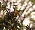 Flickr - Dario Sanches - TUCANO-DE-BICO-VERDE (Ramphastos dicolorus) (7).jpg