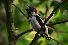 Flickr - Rainbirder - Bearded Bellbird (Procnias averano) male calling.jpg