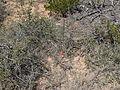 Flickr - brewbooks - Castilleja linariifolia (1).jpg
