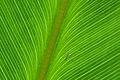 Flickr - ggallice - Leaf texture (4).jpg