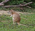 Flinkwallaby Macropus agilis Tierpark Hellabrunn-6.jpg