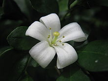 Murraya Paniculata Wikipedia La Enciclopedia Libre