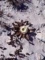 Flor en el desierto - panoramio.jpg