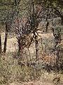 Flora of Tanzania 2477 Nevit.jpg