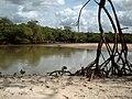 Floresta de raízes (Guaxindiba) - panoramio.jpg