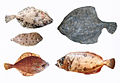 Flounder dab turbot megrim and common sole.jpg