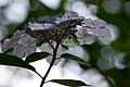 "Flower, Hydrangea ""Temari-Gaku-Ajisai"" - Flickr - nekonomania (1).jpg"