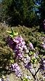 Flower bois-gentil 3.jpg