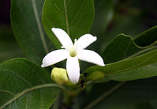 Flower of Morinda tinctoria (Indian Mulberry).JPG
