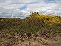 Flowering gorse in Marsham Heath - geograph.org.uk - 760496.jpg