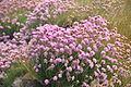 Flowers near Point St John (8409).jpg