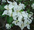 Flowers of 'Minnesota 447' apple.jpg