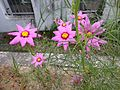 Flowers of Cosmos bipinnatus 20160802.jpg