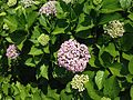 Flowers of Hydrangea macrophylla 20160603-2.jpg