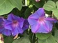 Flowers of Ipomoea nil 20190822-2.jpg