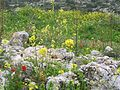 Flowers of Israel12.jpg