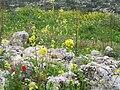 Flowers of Israel12.jpg