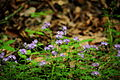 Forest-wildflowers-blue - West Virginia - ForestWander.jpg