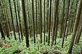 Forest in Mt.Tsukiore 02.jpg