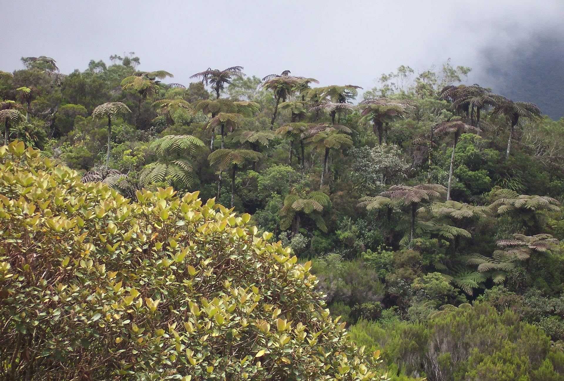 Paysage caractéristique de la forêt de Bébour, riche en fougères arborescentes appelées fanjans