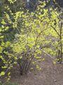 Forsythia viridissima-beijing zoo1.JPG