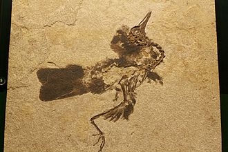 Green River Formation - Unidentified bird from the Green River Formation with preserved feathers