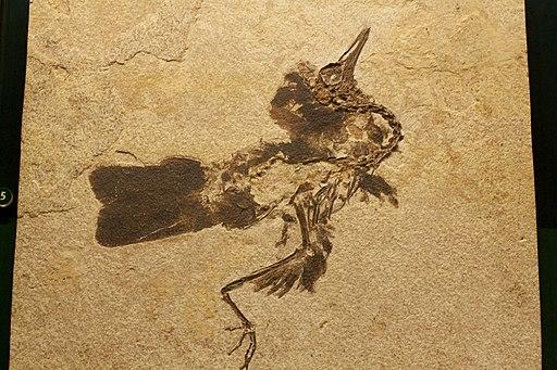 Fossil bird Field Museum