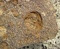 Fossiliferous sandstone (Vinton Member, Logan Formation, Lower Mississippian; Mohawk Dam emergency spillway, western Coshocton County, Ohio, USA) 12 (27130161912).jpg