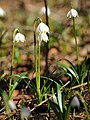 Frühlings-Knotenblume, Leucojum vernum 14.JPG