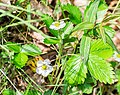 Fragaria vesca in Aveyron (7).jpg