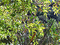 Fraxinus excelsior Leaves 12October2009 RioFresnedas ValledeAlcudia.jpg