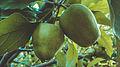 Fruit apple ordubad meyveleri meyva svln4821 03.jpg