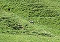 Gämse auf Rundgang im Val de Courre bei Mont-Dore II.jpg