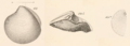 Gabb 1864 pl8 fig49 Here excavata.png