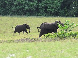 Gabon Loango National Park Elephant with offspring.jpeg