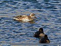 Gadwall (Anas strepera) & Tufted Duck (Aythya fuligula) (35007741664).jpg