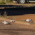 Galah Pituri St Boulia Queensland P1030801.jpg