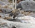 Galapagos Mockingbird (Nesomimus parvulus) (20492637406).jpg