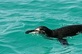 Galapagos Penguin Swimming by the boat.jpg