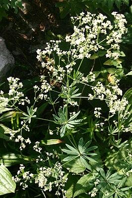 Galium sylvaticum (Forest Bedstraw) IMG 3333.JPG