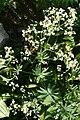 Galium sylvaticum (Wald-Labkraut) IMG 3333.JPG