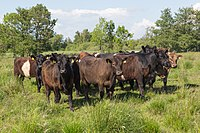Galloway kvæg i Kasted Mose.jpg