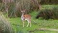Gamo común (Dama dama), Parque de Doñana, España, 2015-12-07, DD 13.jpg