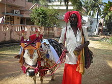 telugu man with his cow elaborately decorated for the festival of makar sankranti