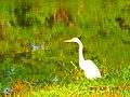 Garça pescando no lago do pq ecológico pela manhã - panoramio.jpg
