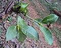 Gardenia gummifera 25.JPG