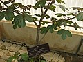 Gardenology.org-IMG 8018 qsbg11mar.jpg